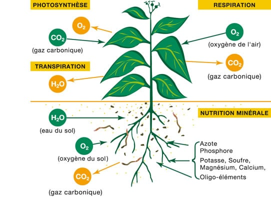 schema_physiologie-plante-unifa